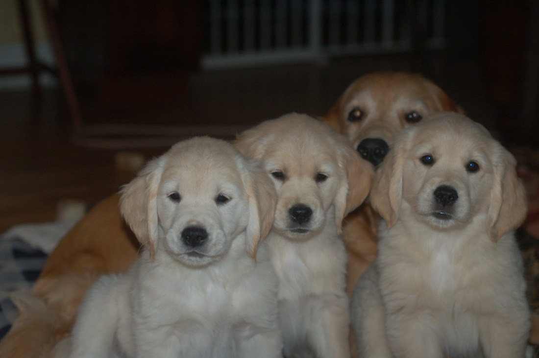 Golden Graham Retrievers Golden Retrievers Champion Lines